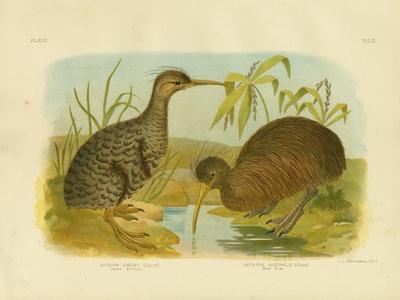 Little Spotted Kiwi, 1891