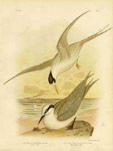 Little Tern, 1891 by Gracius Broinowski