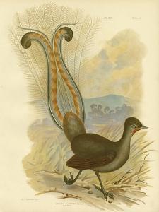 Lyrebird, 1891 by Gracius Broinowski