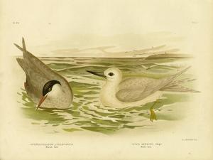 Marsh Tern, 1891 by Gracius Broinowski