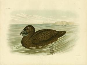 Musk Duck, 1891 by Gracius Broinowski