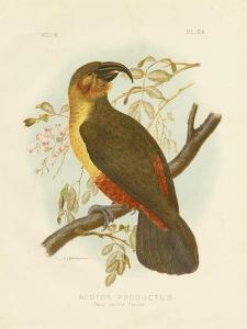 Norfolk Kaka, 1891 by Gracius Broinowski