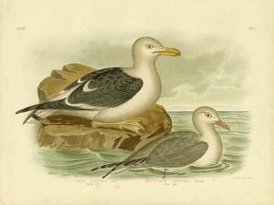 Pacific Gull, 1891 by Gracius Broinowski