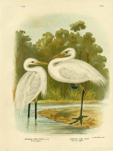 Plumed Egret or Intermediate Egret, 1891 by Gracius Broinowski