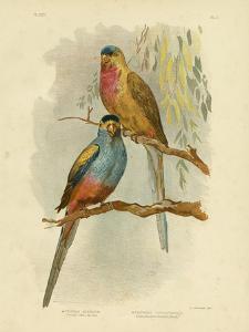 Princess of Wales Parakeet or Princess Parrot, 1891 by Gracius Broinowski
