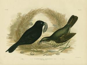 Satin Bowerbird, 1891 by Gracius Broinowski