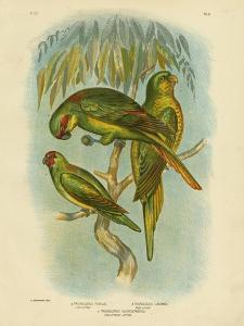Scaly-Breasted Lorikeet, 1891 by Gracius Broinowski