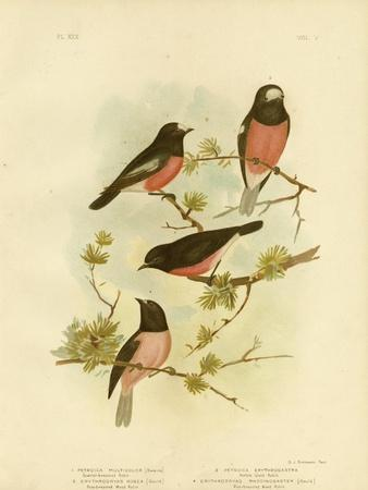 Scarlet-Breasted Robin or Pacific Robin, 1891