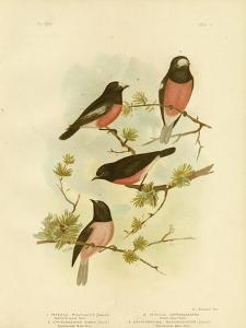 Scarlet-Breasted Robin or Pacific Robin, 1891 by Gracius Broinowski