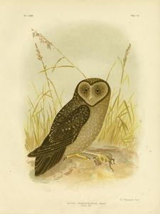 Sooty Owl, 1891 by Gracius Broinowski