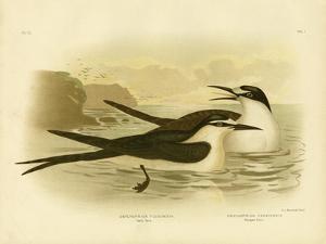Sooty Tern, 1891 by Gracius Broinowski