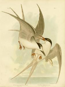 Southern Tern, 1891 by Gracius Broinowski