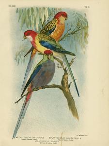 Splendid Parakeet, 1891 by Gracius Broinowski