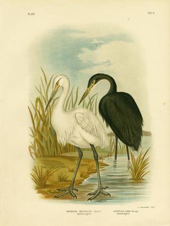 Spotless Egret or Little Egret, 1891