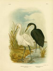 Spotless Egret or Little Egret, 1891 by Gracius Broinowski