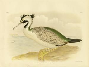 Spotted Cormorant, 1891 by Gracius Broinowski