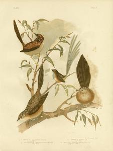 Striated Wren, 1891 by Gracius Broinowski