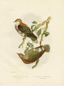 Superb Fruit Pigeon, 1891 by Gracius Broinowski