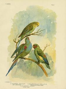 Swift Lorikeet, 1891 by Gracius Broinowski