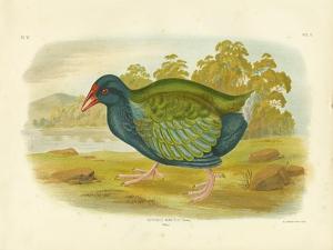 Takahe, 1891 by Gracius Broinowski