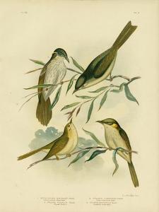 Uniform-Coloured Honeyeater or White-Gaped Honeyeater, 1891 by Gracius Broinowski