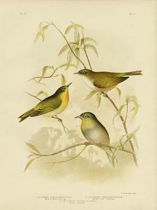 White-Breasted Zosterops or Norfolk White-Eye, 1891 by Gracius Broinowski
