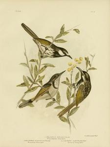 White-Cheeked Honeyeater, 1891 by Gracius Broinowski