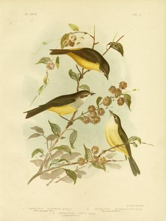 Yellow-Breasted Robin or Eastern Yellow Robin, 1891