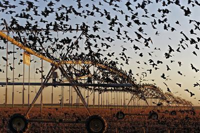 Grackles Gather on a Center-Pivot Sprinkler to Feed on a Newly Harvested Cotton Field-Randy Olson-Photographic Print