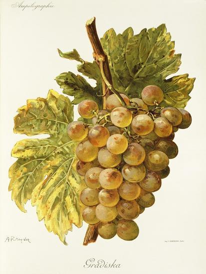 Gradiska Grape-A. Kreyder-Giclee Print