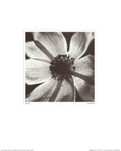 Anemone I by Graeme Harris