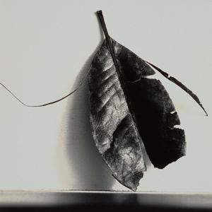 Damaged Leaf by Graeme Harris