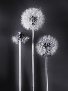 Dandelions by Graeme Harris