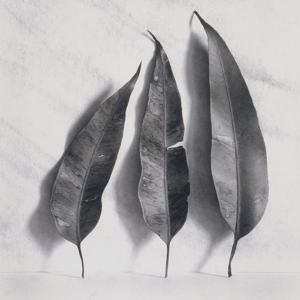 Leaves on White Background by Graeme Harris