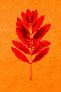 Rowan Leaves by Graeme Harris