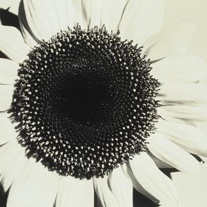 Sunflower by Graeme Harris