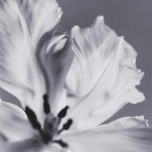 Tulip Petals by Graeme Harris
