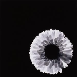 White Flower by Graeme Harris