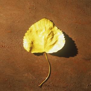 Yellow Cottonwood Tree Leaf on Ground by Graeme Harris