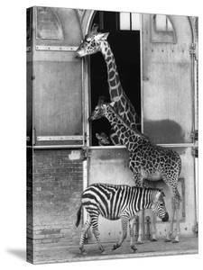 Baby Giraffe by Graham Morris