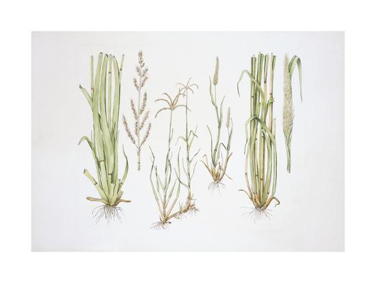 Graminaceae, Weed--Giclee Print