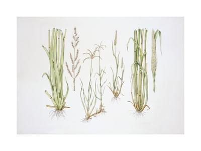 https://imgc.artprintimages.com/img/print/graminaceae-weed_u-l-pw2oh50.jpg?p=0