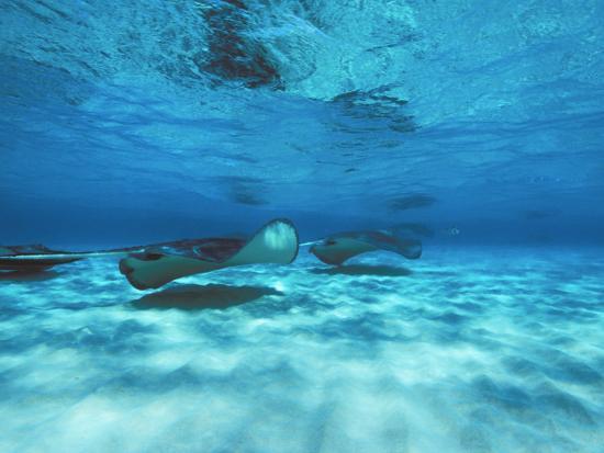 Grand Cayman, Stingray City Unerwater with Stingrays Dasyatis American-James Forte-Photographic Print