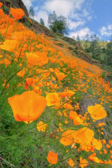 Grand Poppy Landscape Revisited, Merced Canyon-Vincent James-Photographic Print