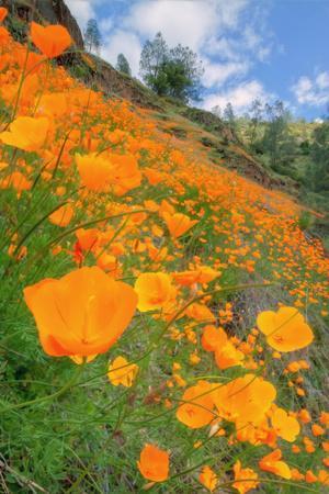 https://imgc.artprintimages.com/img/print/grand-poppy-landscape-revisited-merced-canyon_u-l-pq7vca0.jpg?p=0