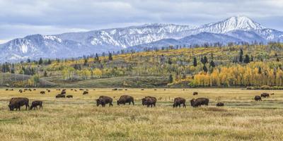 https://imgc.artprintimages.com/img/print/grand-teton-bison-grazing_u-l-q1ah21a0.jpg?p=0