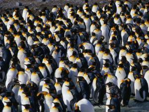 Colony of the King Penguin in St. Andrew's Bay, the Largest Penguin Colony in the World, Antarctica by Grant Dixon