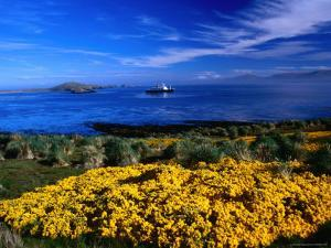 Flowering Gorse, Evergreen Shrub, with a Distant Antartic Cruise Ship Off-Shore, Falkland Islands by Grant Dixon