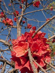 Flowers of Sticky Kurrajong (Brachychiton Viscidulus), West Kimberley by Grant Dixon
