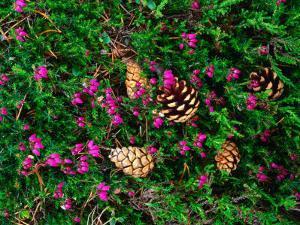 Heather and Scots Pine (Pinus Sylvestris), the Cairngorms, Scotland by Grant Dixon